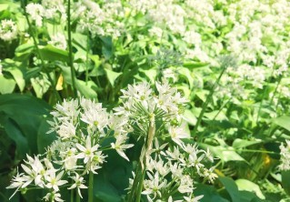 What to do with foraged Wild Garlic